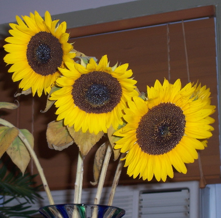 3 sunflowers.JPG.jpg