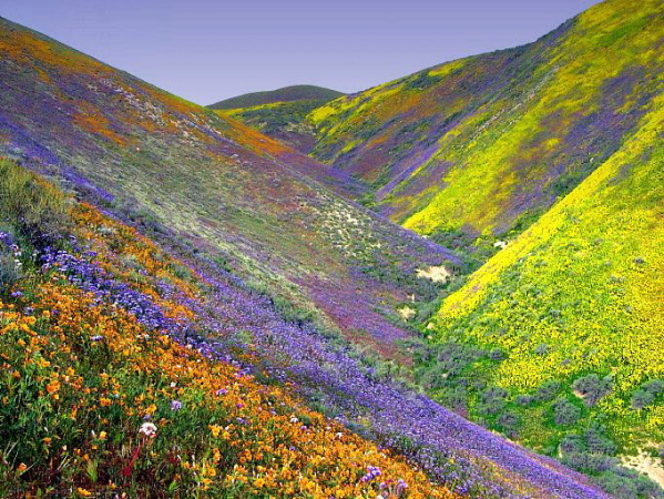 Carrizo Plain (east).jpg A photograph of a valley covered with multicolored flowers in wild bloom