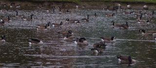 geese.JPG.jpg