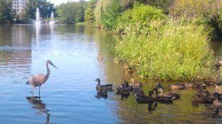 heron and ducks.jpg